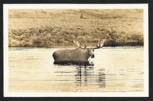 Alaskan Moose Mt McKinley National Park RPPC unused c1940's