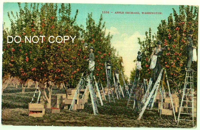Apple Orchard, Washington