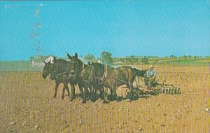 Amish Boy With Four Mules Working The Ground Before Planting Corn