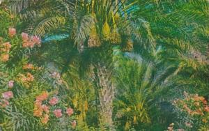 California Date Bearing Palm Trees and Oleanders 1972