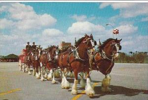 Florida Tampa Budweiser Clydesdale 8-Horse Team