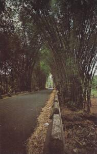 Road through an umbrella of Bamboo trees along the route to the Rain Forest o...