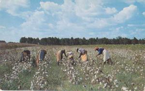Cotton Picking Time in the Old South