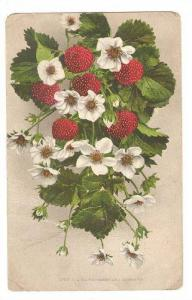 Strawberries and Blossoms, Rainier, Washington, PU-1909