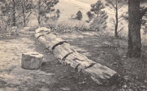 Black Hawk-Rapid City SD~Sawed Log~Stump~Petrified Forest~Timber of Ages c1910