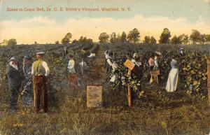 Westfield New York Welchs Vineyard Grape Belt Antique Postcard K431348