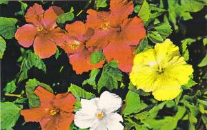 Colorful Hibiscus In A Florida Garden