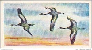 Brooke Bond Vintage Trade Card Wonders Of Wildlife 1976 No 38 Cranes Nature&#...