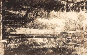 Giant Forest California General Sherman Tree Real Photo Postcard JD933934
