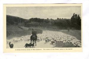 Droving sheep in New Zealand , 20-40s #2/3