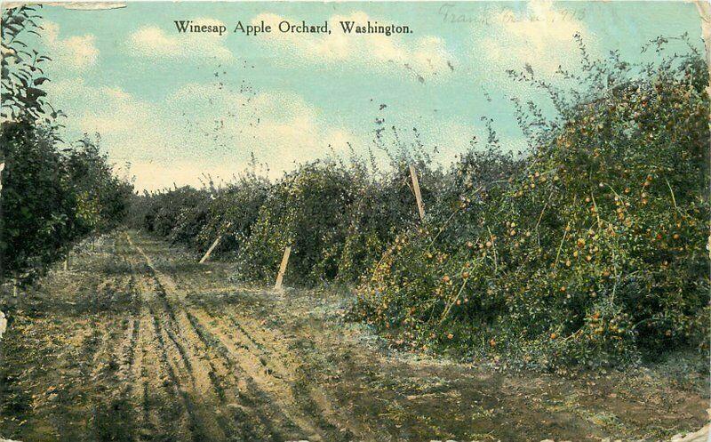 Central 1913 Farm Agriculture Winesap Apple Orchard Washington Postcard 4956