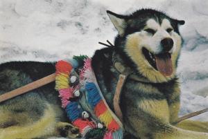 The Artic Husky Dog , Canada , 60-80s