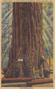 SANTA CRUZ Mountains, California, 1930-40s; Giant Tree, a 4,500 Year Old Re...