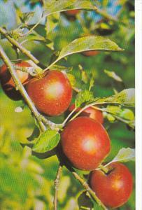 World Famous Nova Scotian Apples