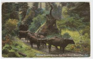 Logging Ox Wagon Santa Cruz California 1910c color postcard