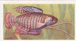 Pukka Tea Vintage Trade Card Aquarium Fish 1961 No 23 Dwarf Gourami
