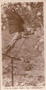 Its A Long Way To Tipperary Parrott Stuck Bird Old Cigarette Card