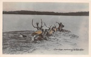 Moose / Elk Post Card Caribou Swimming Yukon River 1951