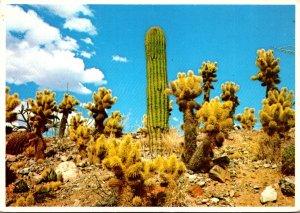 Arizona Tucson Desert Sonora Museum Group Of Cholla Saguaro and Barrel Cactus