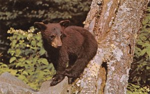 Bear Post Card Black Bear Rests on Rock Great Smoky Mountains National Park, ...