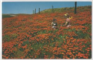California Poppies State Flower Field 2 Girls Picking Flowers Vintage Postcard