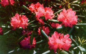 Rhododendron,Flowers,Blue Ridge Parkway