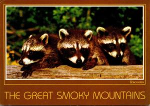 Tennessee Great Smoky Mountains Racoons