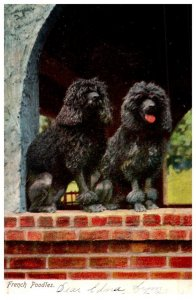 Dog , French Poodles