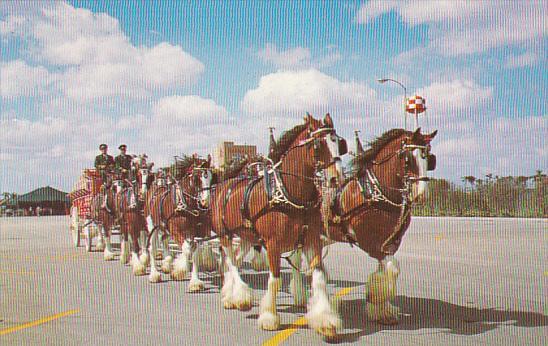 Budweiser Clydesdale 8 Horse Team at Busch Gardens Tampa Florida