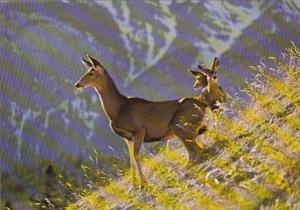 Canada Mule Deer Doe With Twin Fawns