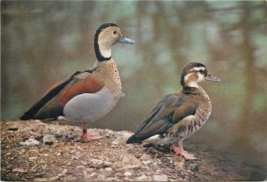 Postcard The Wildfowl Trust ringed teal South America fauna