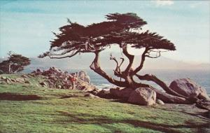 California Monterey Cypress And Sea