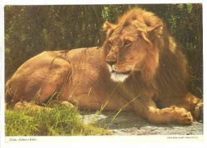 Lion, Kenya, PU-1972
