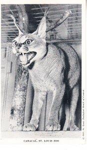 Caracal    St Louis Zoo