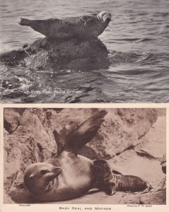 Baby Seal & Mother Old Veteran 2x Seals Old Postcard s