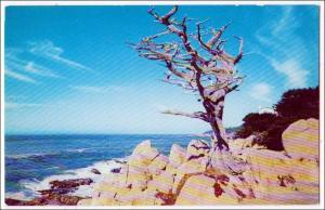 Monterey Cypress, Monterey Peninsula CA