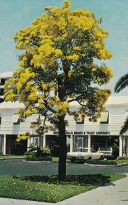 PALM BEACH, Florida, 50-60s; Bank Of Palm Beach And Trust Company, Tabebuia Tree