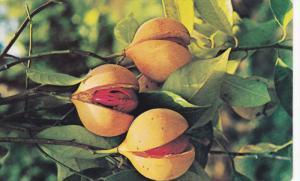 Nutmeg Pods , GRENADA , 50-60s