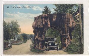 WA Cedar Stump