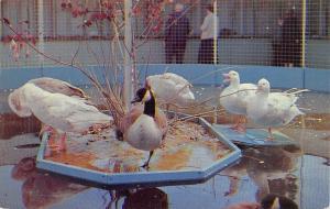 Danbury Connecticut~Sportsmen Show~Danbury State Fair~Ducks & Geese~1960s PC