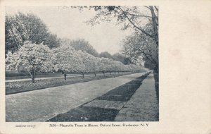 Oxford Street, Rochester NY, New York - Magnolia Trees in Bloom - UDB