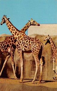 Misc Animals Uganda Giraffe San Diego, California, USA Unused