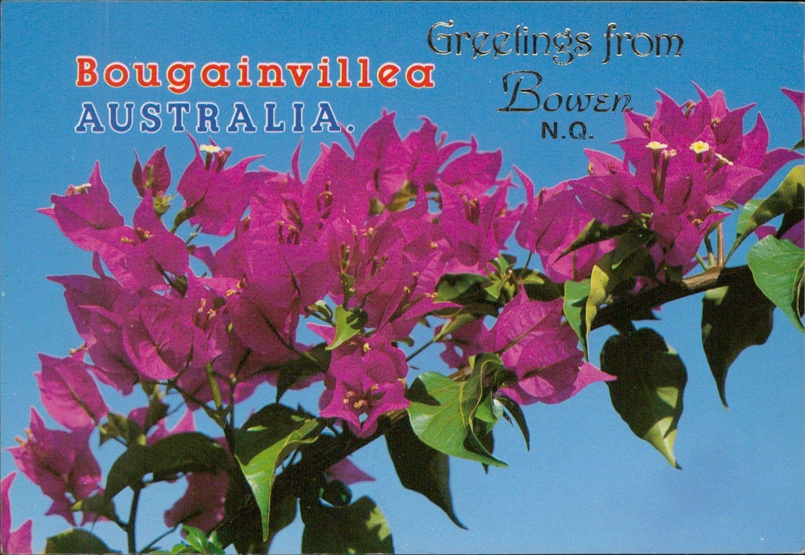 Bougainvillea Australia Greetings From Bowen Flowers Postcard