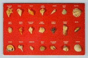 FL- Florida, Representation Collection of Sea Shells, Chrome Postcard