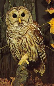 Barred owl Animals, Misc, Unused
