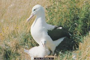 Royal Albatross New Zealand Taiaroa Head Colony Bird Postcard