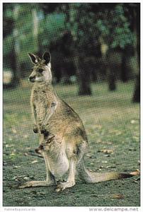 Grey Kangaroo and Joey, Native to Australia