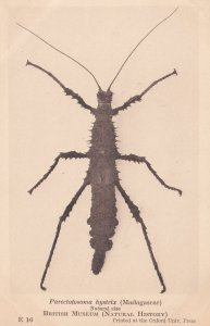 Parectatosoma Hystrix Madagascar Antique Beetle Insect Postcard
