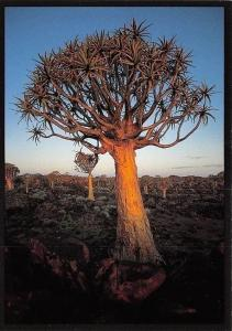 Namibia Desert Succulents Quiver Tree Forest