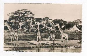 RP  Faune Africaine - Groupe de Girafes, 20-40s